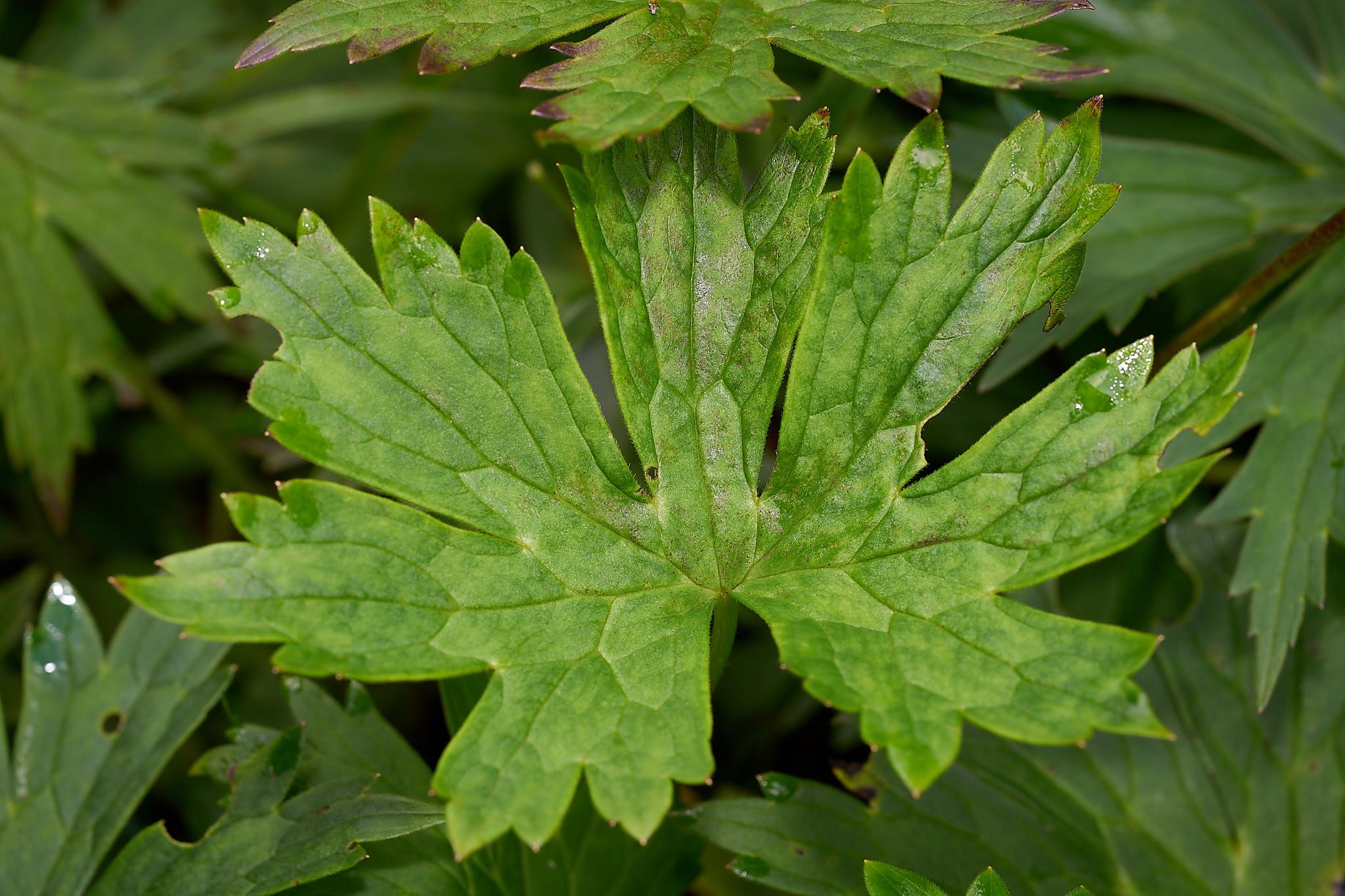 Gelber Eisenhut (Aconitum lycoctonum)