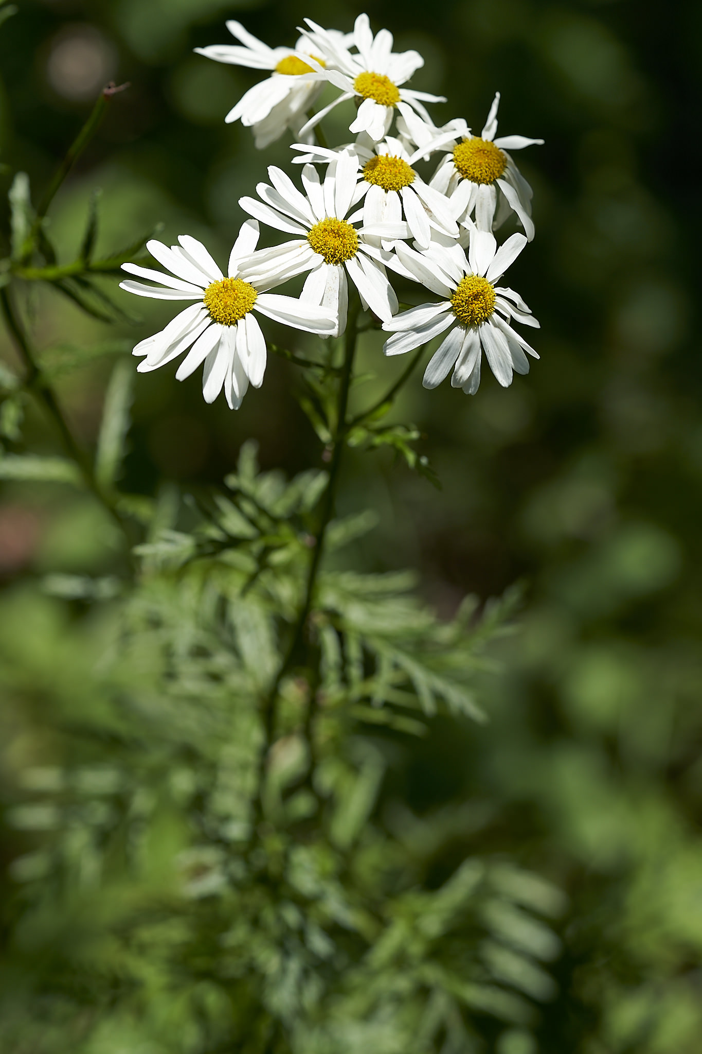 Straussblütige Margerite (Tanacetum corymbosum)