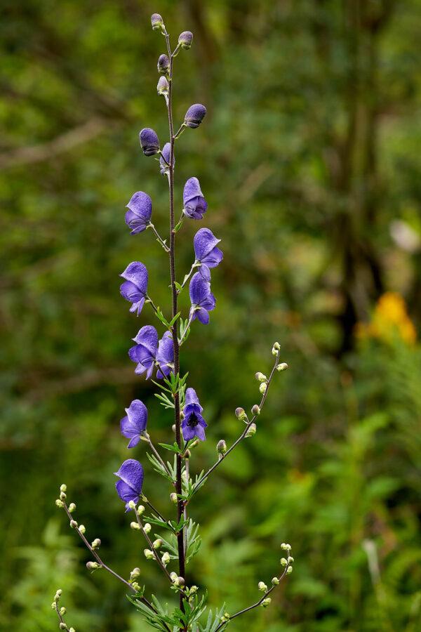 Blauer Eisenhut (Aconitum napellus)