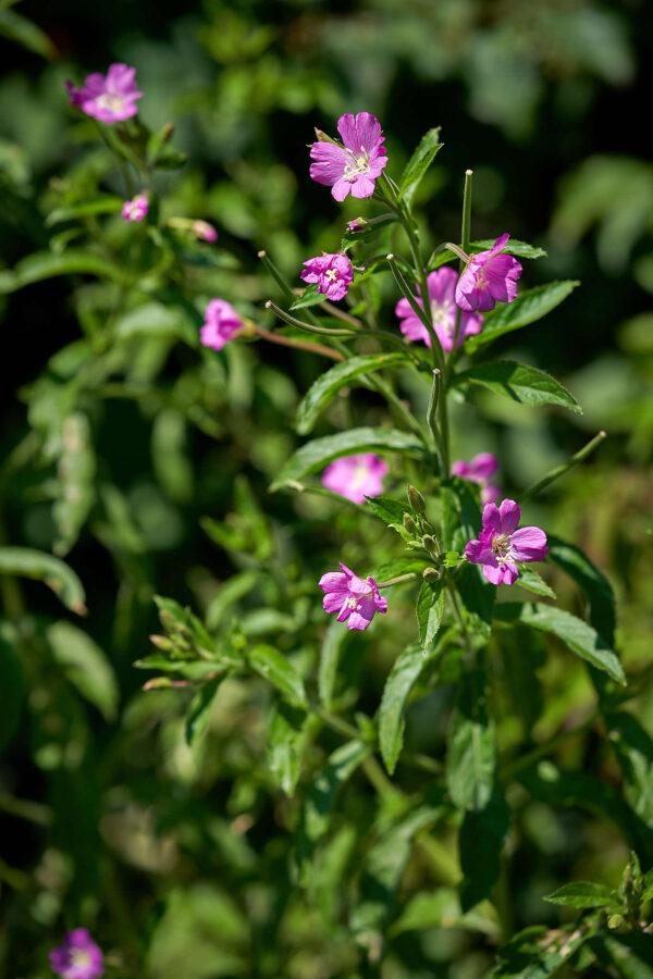 Zottiges Weidenröschen (Epilobium hirsutum)