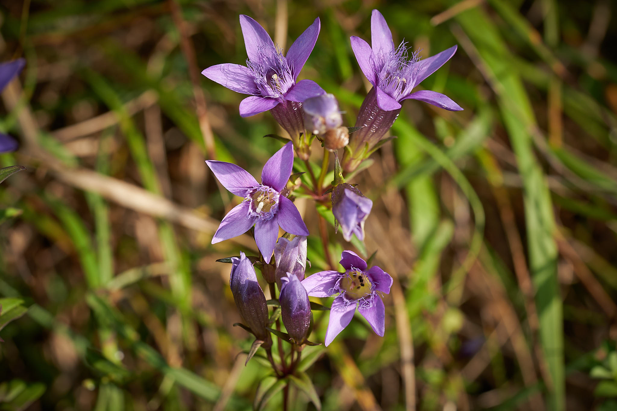 Deutscher Enzian (Gentiana germanica)