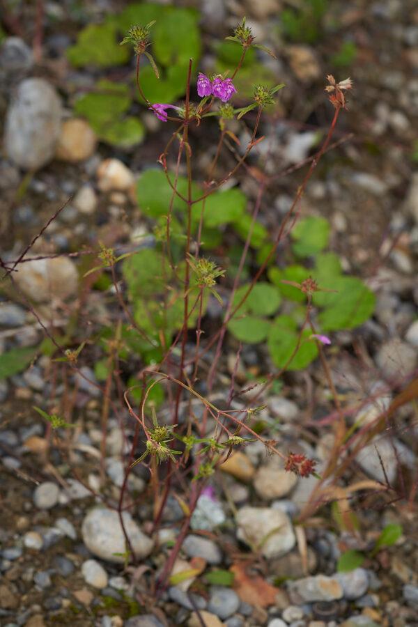 Schmalblättriger Hohlzahn (Galeopsis angustifolia)