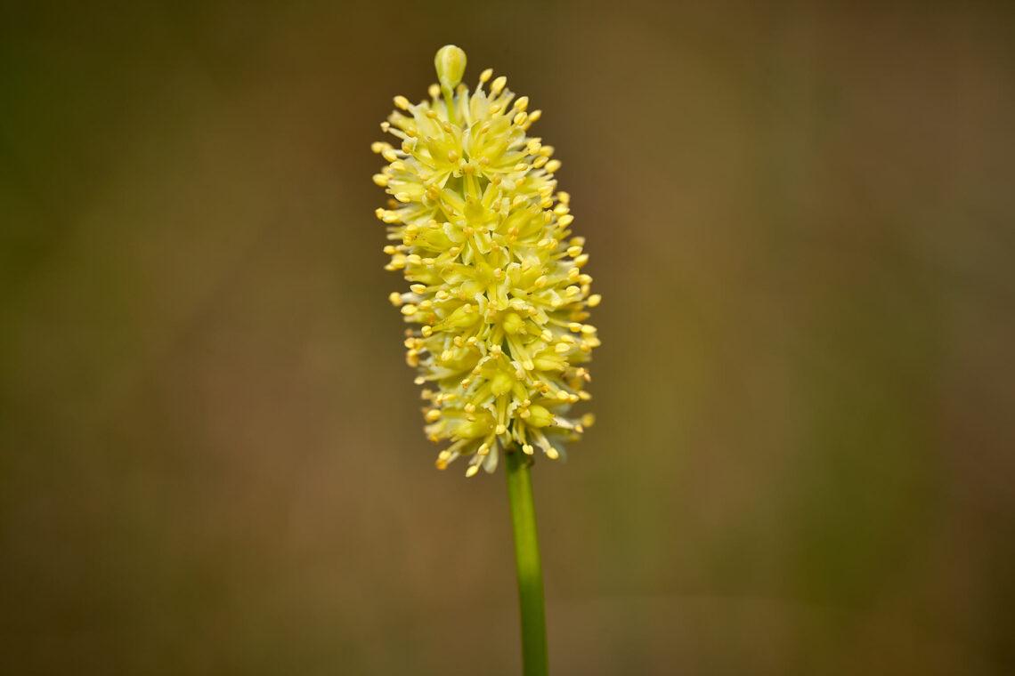 Kelch-Simsenlilie (Tofieldia calyculata)