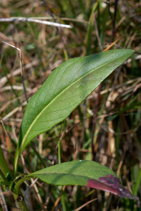 Gewöhnlicher Teufelsabbiss (Succisa pratensis)
