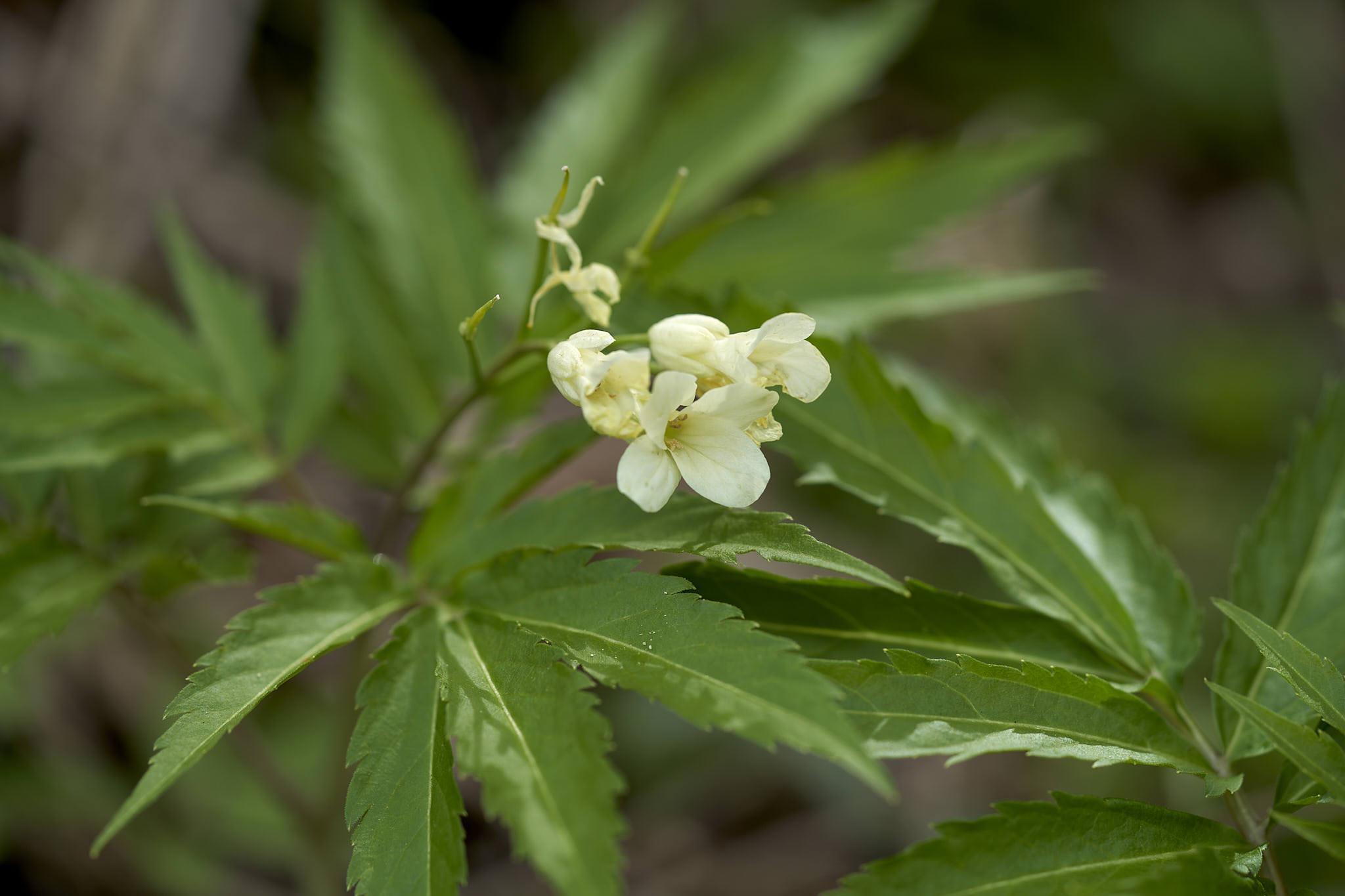 Kitaibels Zahnwurz (Cardamine kitaibelii)