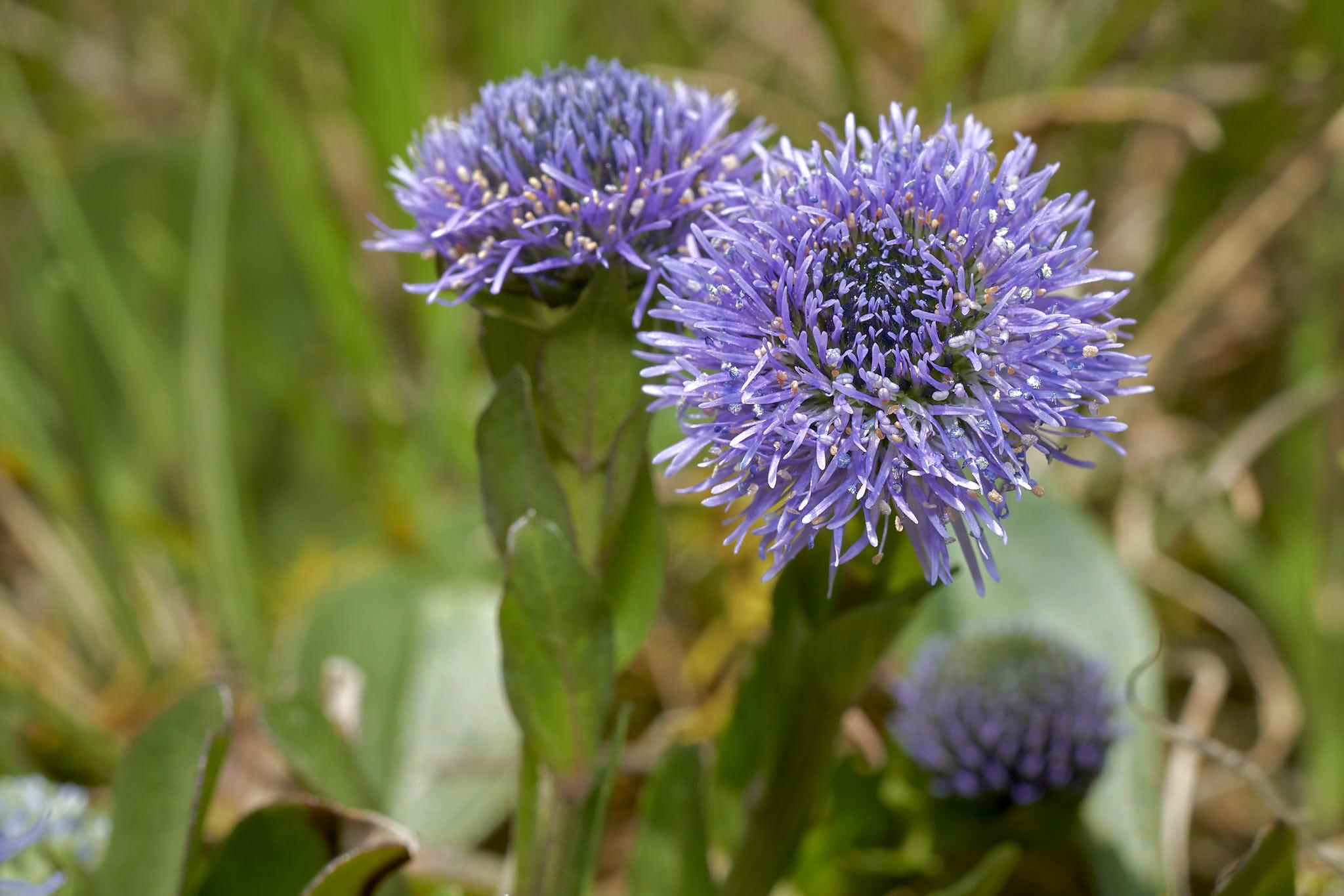 Echte Kugelblume (Globularia bisnagarica)