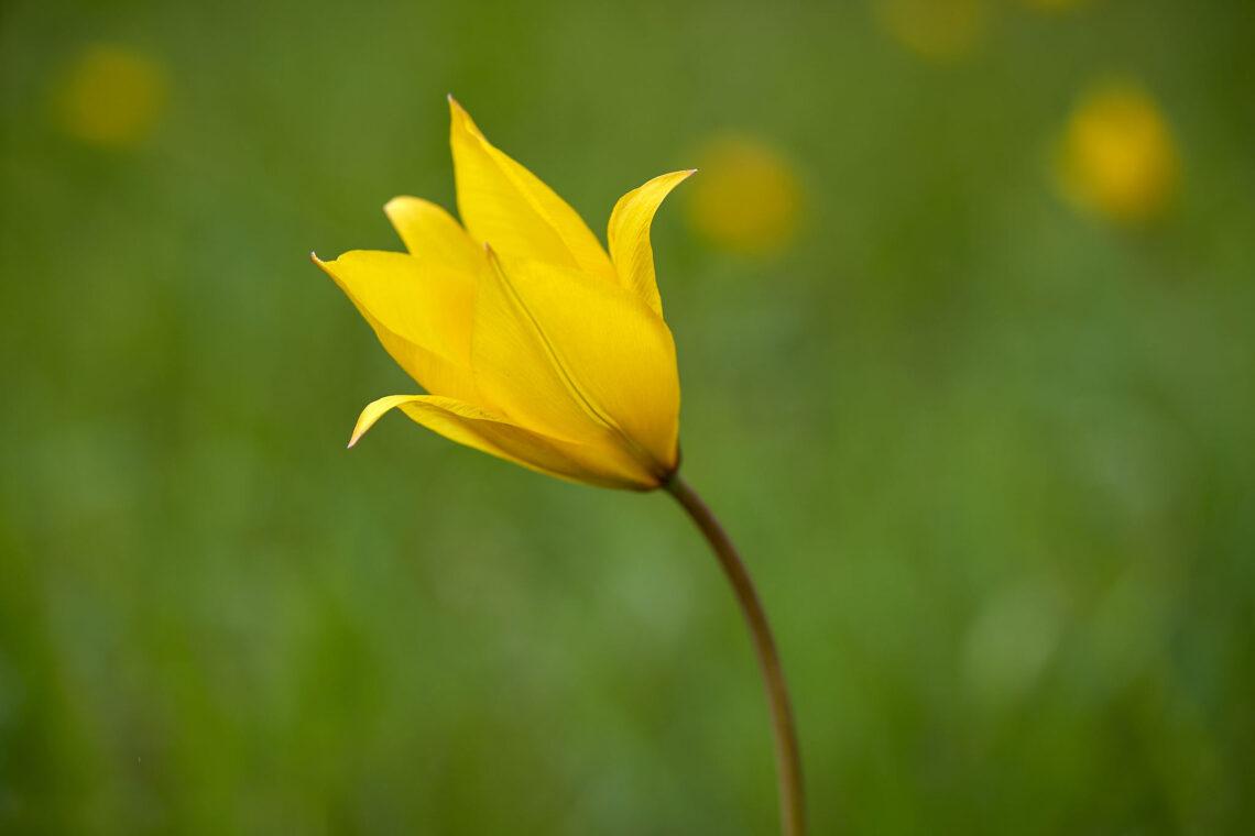 Gewöhnliche Weinberg-Tulpe (Tulipa sylvestris)