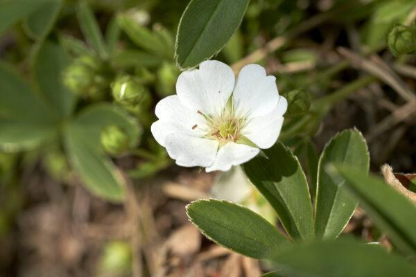 Weisses Fingerkraut (Potentilla alba)