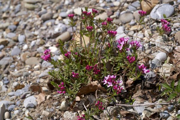 Flaumiger Seidelbast (Daphne cneorum)
