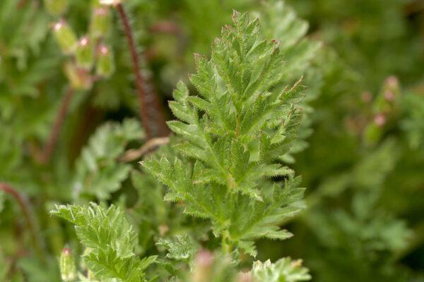Gemeiner Reiherschnabel (Erodium cicutarium)