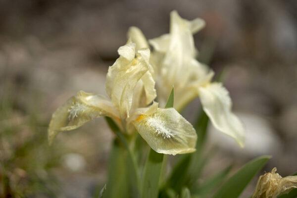 Gelbliche Schwertlilie