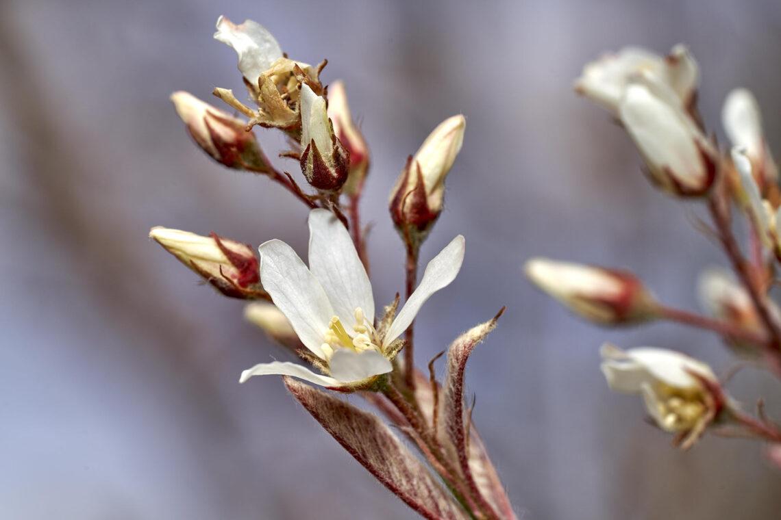 Felsenmispel (Amelanchier ovalis)