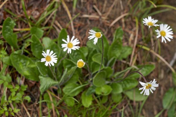 Alpenmasslieb (Aster bellidiastrum)