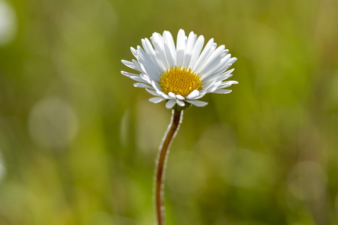 Alpenmasslieb (Aster bellidisastrum)