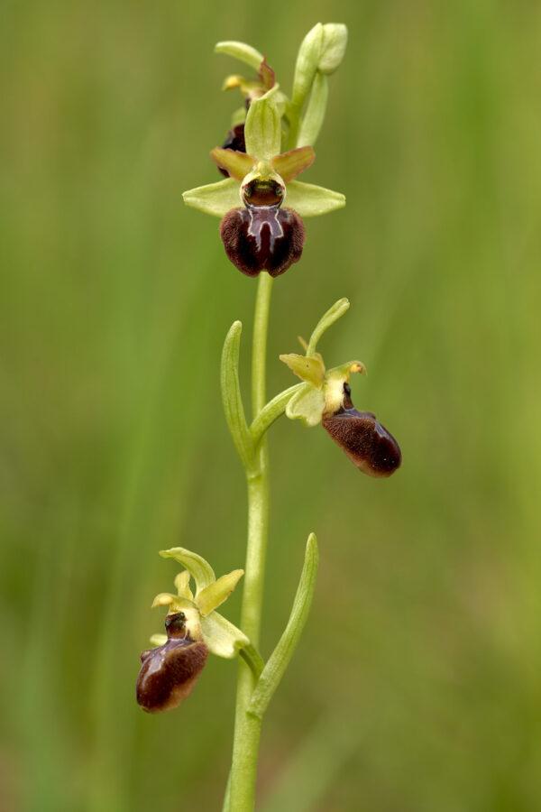 Grosse Spinnen-Ragwurz (Ophrys sphegodes)