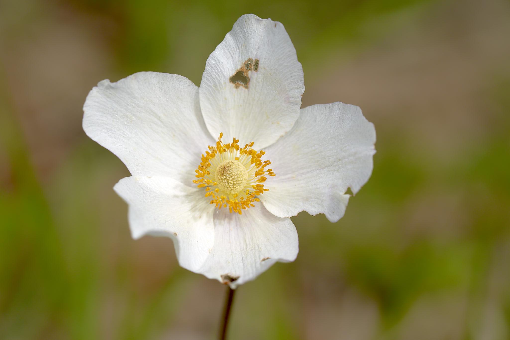 Grosses Windröschen (Anemone sylvestris)
