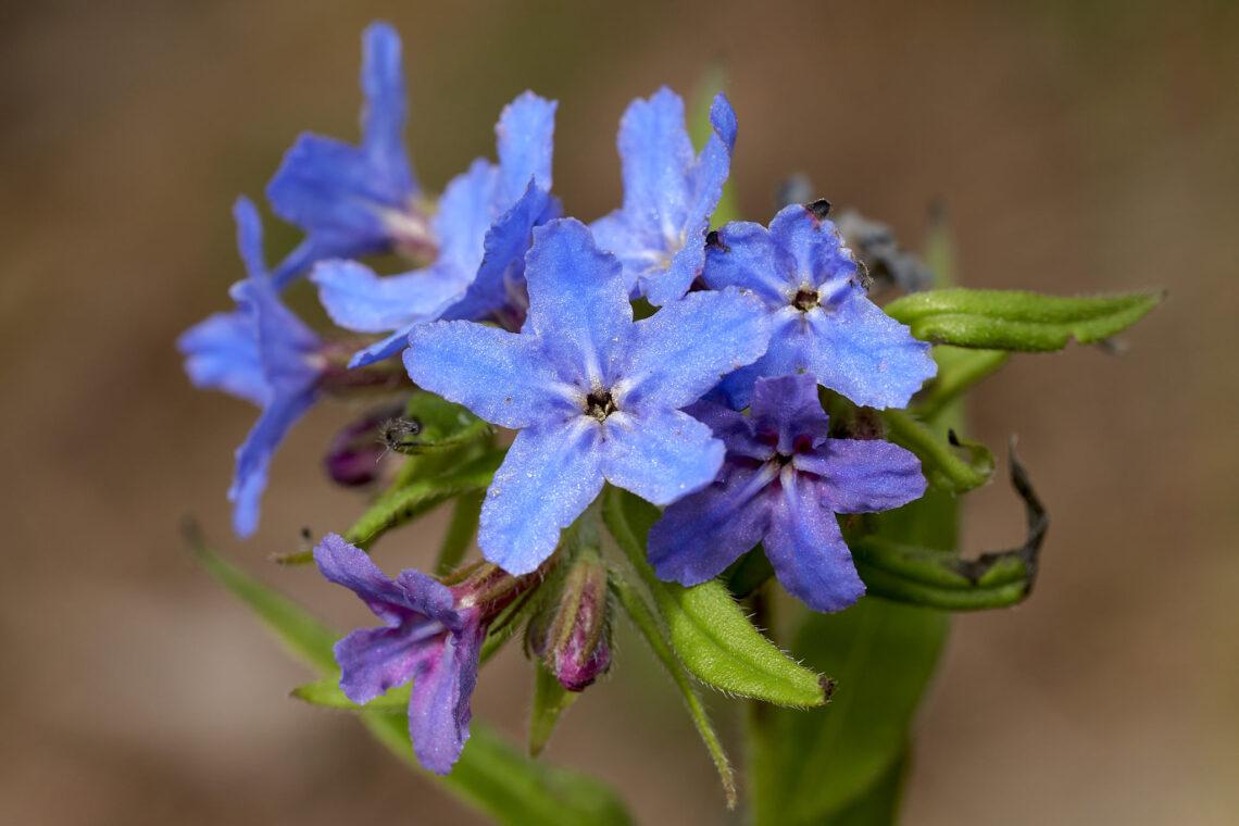 Blauer Steinsame (Buglossoides purpurocaerulea)