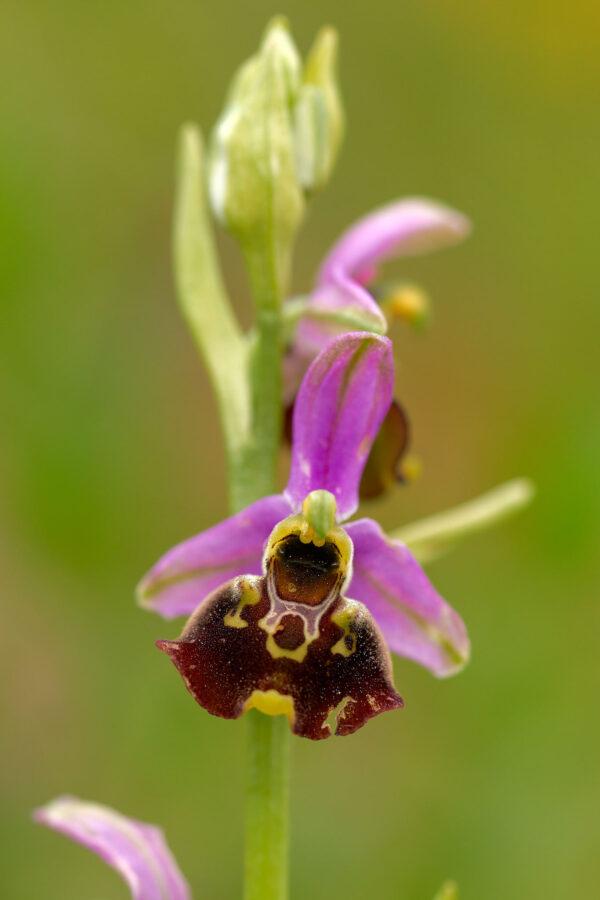 Gewöhnliche Hummel-Ragwurz (Ophrys holoserica)