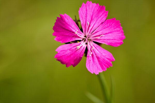 Kartäuser-Nelke (Dianthus carthusianorum)